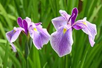 花ショウブ(薬師池公園)